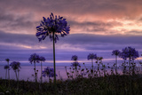 Coastal Sunset Flower Silhouettes, Montara California Photographic Print by Vincent James
