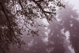 Coastal Tree Silhouettes, Northern California Photographic Print by Vincent James