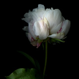 Peony in Heavenly White Photographic Print by Magda Indigo