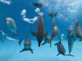 Bottlenose Dolphins Dancing and Blowing Air Underwater Reproduction photographique par Augusto Leandro Stanzani