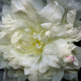 Peony Close-Up Photographic Print by Magda Indigo