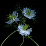 Nigella Photographic Print by Magda Indigo