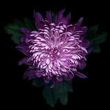 Chrysanthemum Photographic Print by Magda Indigo