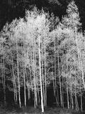 Grove of Aspen Trees (Populus Tremuloides), in Late Afternoon Photographic Print by David Epperson