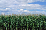 Corn Field, Colorado Photographic Print by James Gritz