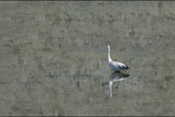 Grey Heron Photographic Print by Adrian Campfield