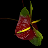Anthurium Photographic Print by Magda Indigo