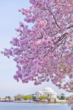 Usa, Washington Dc, Cherry Tree in Blossom with Jefferson Memorial in Background Photographic Print by Tetra Images