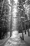 Snow Covered Pines Trees Photographic Print by Julie Rideout