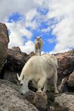 Mountain Goats (Oreamnos Americanus) Photographic Print by John Kieffer