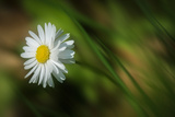 White Daisy Photographic Print by Marco Carmassi