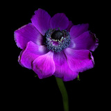 Purple Anemones Heart Photographic Print by Magda Indigo