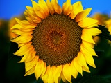Yellow Sunflower Photographic Print by Hansrico Photography