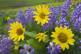 Balsamroot and Lupines, Dalles Mountain Ranch Photographic Print by Alan Majchrowicz