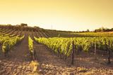 Vineyard at Sunset Photographic Print by  franckreporter