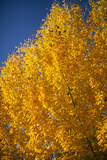 Usa, Colorado, Close-Up of Yellow Trees against Blue Sky Photographic Print by John Kelly