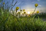 Rising Beyond the Buttercups Photographie par Adrian Campfield