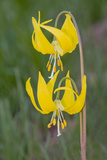 Glacier Lily in Spring with Double Flowers Photographic Print by Russell Burden
