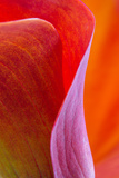 Calla Lily Curves III Papier Photo par Doug Chinnery