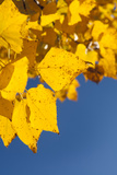 Usa, Colorado, Close-Up of Yellow Leaves against Blue Sky Photographic Print by John Kelly