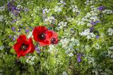 Poppies Friends Stampa fotografica di Marco Carmassi