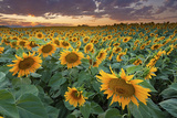Sunflower Field in Longmont, Colorado Photographic Print by  Lightvision