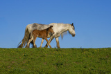 Mother and Foal Photographic Print by Adrian Campfield