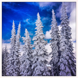 Snow Covered Trees and Blue Sky, Colorado Photographic Print by Karen Desjardin