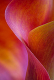 Calla Lily Curves I Photographic Print by Doug Chinnery