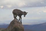 Lost Baby Mountain Goat (Oreamnos Americanus) Photographic Print by John Kieffer