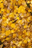 Usa, Colorado, Close-Up of Yellow Leaves Photographic Print by John Kelly