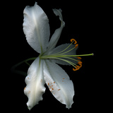 Lily Photographic Print by Magda Indigo