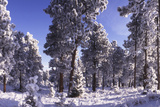 Ponderosa Pines in Winter, Colorado Photographic Print by James Gritz