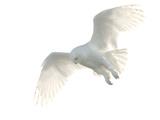 Pat Gaines - Snowy Owl Fotografická reprodukce