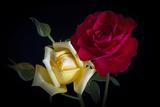 Rose Stampa fotografica di Marco Carmassi