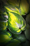 Dorothy Benedict Hosta Photographic Print by Philippe Sainte-Laudy