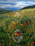 Field of Indian Paintbrush Flowers (Castilleja Sp.), Summer Photographic Print by Willard Clay