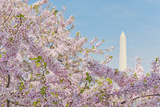 Usa, Washington Dc, Cherry Blossom with Washington Monument in Background Photographic Print by Tetra Images
