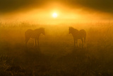 Golden Foals Photographic Print by Adrian Campfield