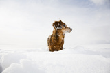 Long Haired Dachshund Standing in Field of Snow Photographic Print by Maisie Paterson