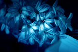 Blue Hyacinth Photographic Print by Philippe Sainte-Laudy