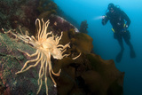 Scientific Diver Looks on at a Giant Starfish, Antarctic Peninsula Photographic Print