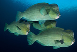 Large School of Bumphead Parrotfish, Bali, Indonesia Photographic Print