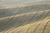 Rows of Harvested Wheat Field, Val D'orcia, Siena Province, Tuscany, Italy Photographic Print by Martin Ruegner