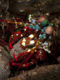 Peacock Mantis Shrimp Moving a Rock to Make a Burrow, Bali Photographic Print