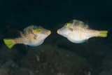 Valentinni's Sharpnose Puffer Face to Face in Territorial Behavior, Bali Photographic Print