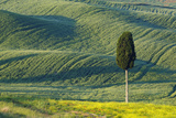 Hilly Farmland with Lonely Cypress Tree Photographic Print by Cornelia Doerr