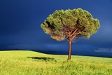 Lone Pine Tree between Sun and Storm Photographic Print by Jan Zwilling