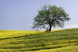 A Single Tree Sits on a Flower Covered Hillside Photographic Print by Dennis Flaherty