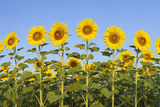 Sunflower (Helianthus Annuus) against Blue Sky. Photographic Print by Martin Ruegner